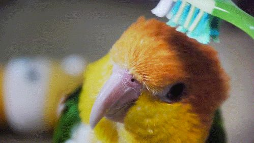 so cute....: Cute Animal, Clean, Parrots, Toothbrush Budgies, Around The House, Funny, Birds Bath, Tooth Brushes, Hair Looks