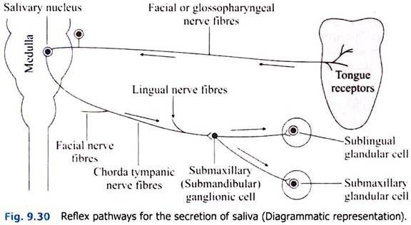 Reflex Pathways for the Secretion of Saliva
