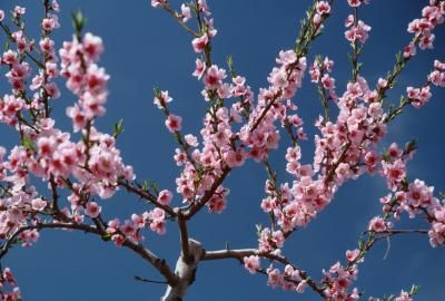 Prunus cesarus L. and Prunus avium L., commonly referred to as sour and sweet cherry trees, hardy in U.S. Department of Agriculture plant hardiness zones 4 through 8, reproduce best when propagated ...