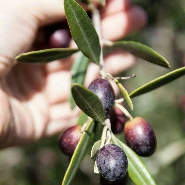 #extravirginoliveoil #frank #newzealand #olives #harvest #farnorth