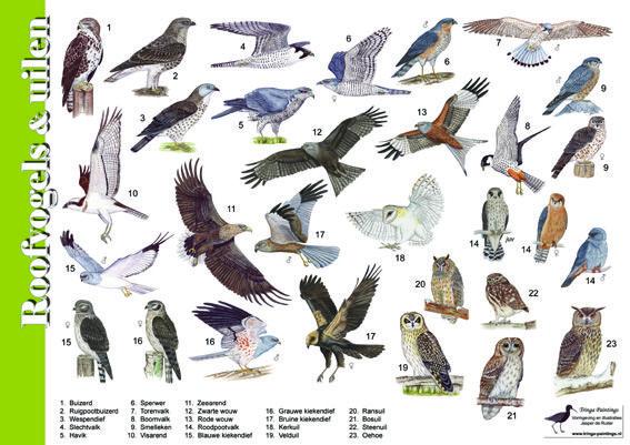 Herkenningskaart / zoekkaart Roofvogels en uilen