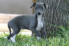 About Time Italian Greyhounds - Italian Greyhound Puppies For Sale