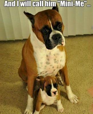 Boxer and mini boxer