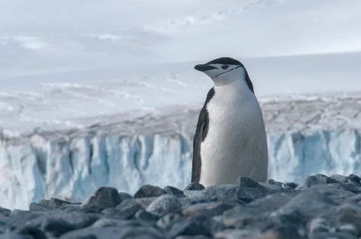 Chinstrap penguin on Half Moon Island, Antarctica
