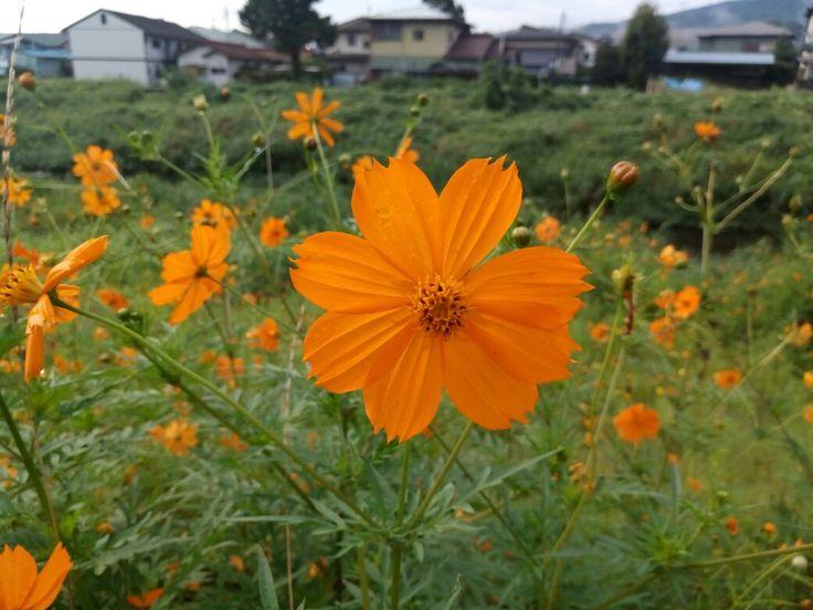 Las flores de mi barrio 🌸 僕の近所の花 🌻✨ #Japón #Cosmos #日本 #おはようございます #花