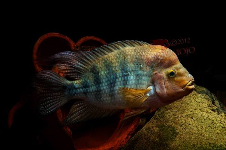 Pez Guayas (Anphilophus Bogamoorun) solamente se encuentra en Honduras en el río Choluteca, su dieta es muy variada ya que es un pez omnivoro
