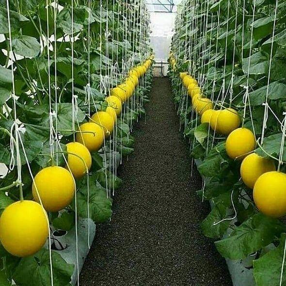 Vertical Grown Melon Fuulllll Boked Setelah Anda Dan 2 Teman