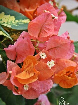 La flor de bugambilia