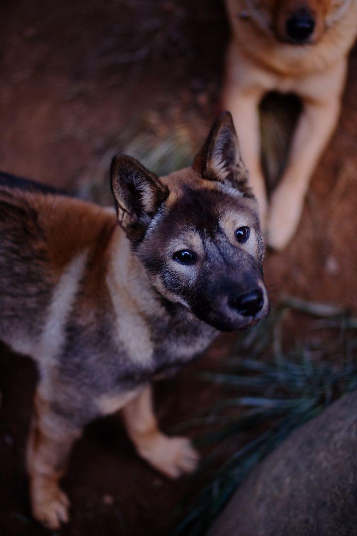 Korean Jindo Dog, Wolf Grey - Tumblr: jindo dog Ari, with fuji x-t1 vivitar 28mm lens turbo