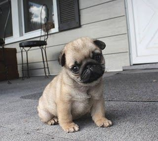 Cutest Pug puppy in the world!