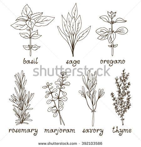 Culinary Herbs Set, Hand Drawn Rosemary, Marjoram, Oregano, Basil ...