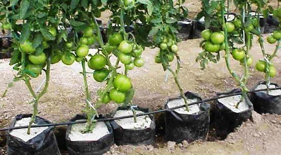 Cara Menanam Tomat Dengan Hidroponik Sederhana http://slosa.blogspot.com/2016/04/cara-menanam-tomat-dengan-hidroponik.html
