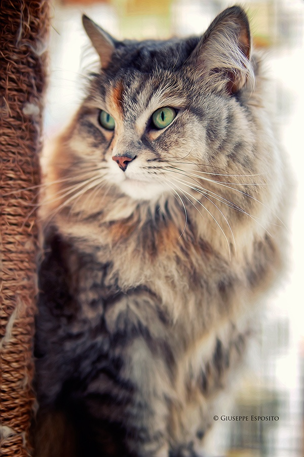Pin by Květa K. on Her Majesty Cat Cat breeds