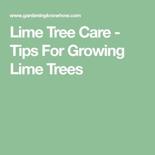 Lime Tree Care - Tips For Growing Lime Trees