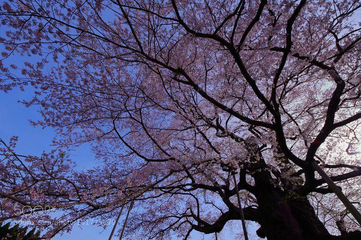 Daigo-Zakura at Ochiai -落合の醍醐桜- 2 by Ganchan.