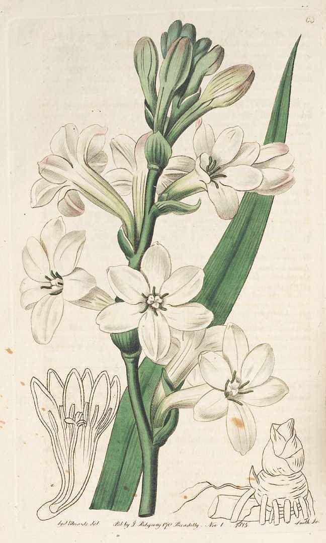Polianthes tuberosa, Botanical Register,S. Edwards(1815)