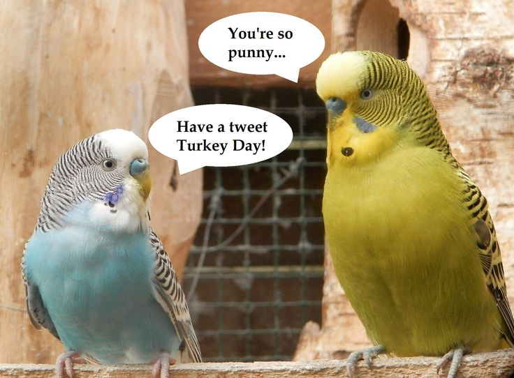 Happy Thanksgiving to all of my American friends!  #parakeetlovers #parakeetpuns #punnyparakeet #iloveparakeets #parakeet #parakeets #budgies #budgerigar #budgie #budgielover