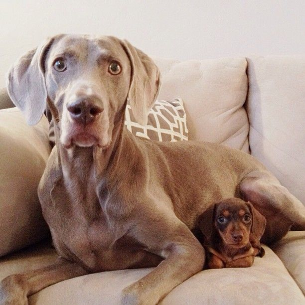 Harlow, the Weimaraner, with his new little pal, Indi, the weiner dog