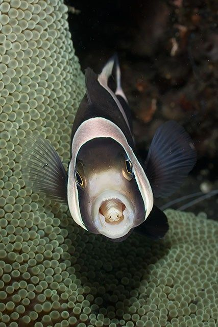 An isopod parasite that has replaced a fish 39 s tongue for Parasite that eats fish tongue