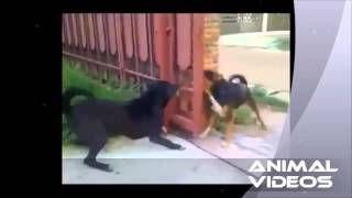 Смотреть онлайн видео Собаки лают через открытый забор