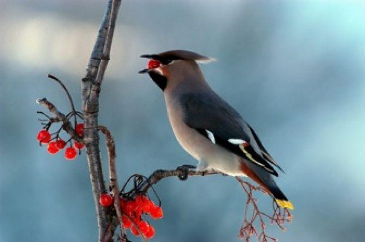 #bird #uccello #berry #bacche #ramo #branch #autumn #autunno