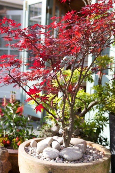 Japansk lönn - vackrast av alla lönnar   Blomsterlandet.se