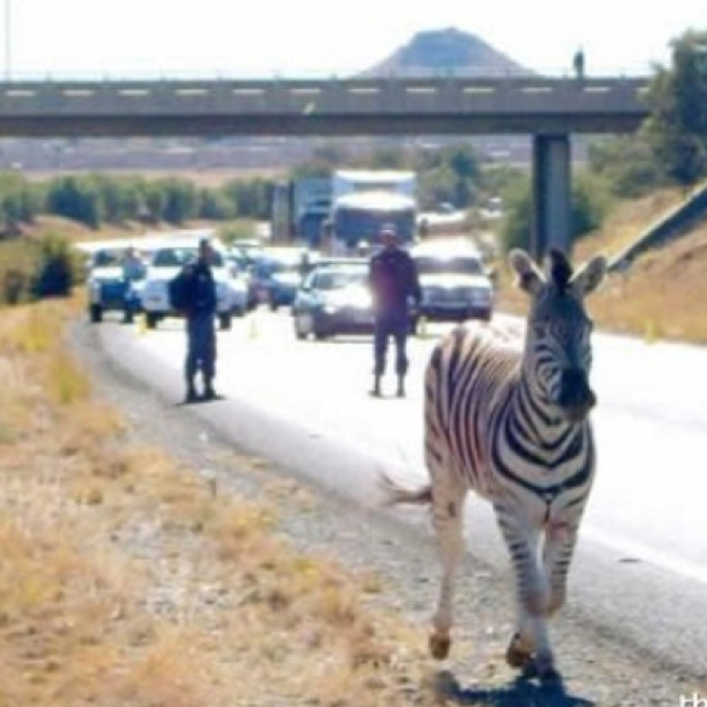 Just a zebra, walking down the road in Africa, no big deal