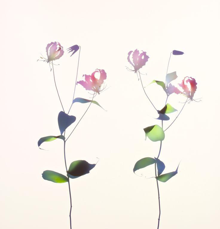 Ruhmeskrone 2014, Unique Ilfochrome Photogram, 120 x 120 cm