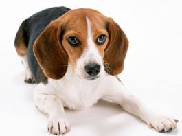 Beagle Information and Interesting Beagle Facts