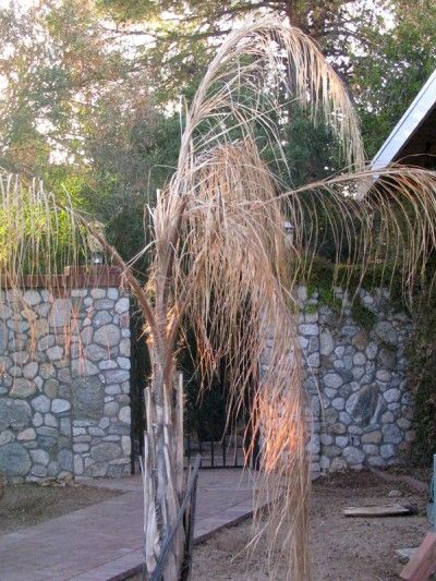 Winterizing Queen Palm Trees: Care Of Queen Palm In Winter - Queen palm cold damage can be fatal in extreme winters. For this reason, knowing how to overwinter queen palms is a must to protect your investment. This article will help with that. Click here for more information.