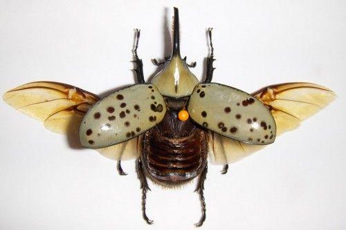 Un escarabajo hércules con las alas despegadas