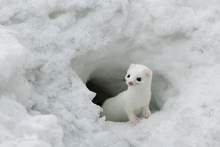 Cute Baby Animals In The Snow The Arctic Hare Is The