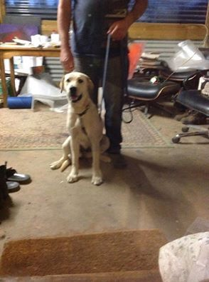 DOG FOUND on MIDLAND HWY, Mt Franklin just now, outside 5667 Midland Hwy, near turn off to Leslies Rd. I tried to check with the above address but they have a key coded front gate so couldn't get in. Dog was eating out of a wheely bin. Female Labrador, looks young. Wearing collar. Dog isRead More