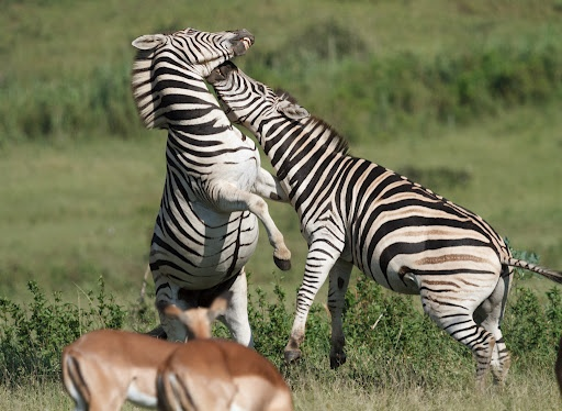The Big fight by Nobby Clarke - Two Zebras having a duel Click on the image to enlarge.