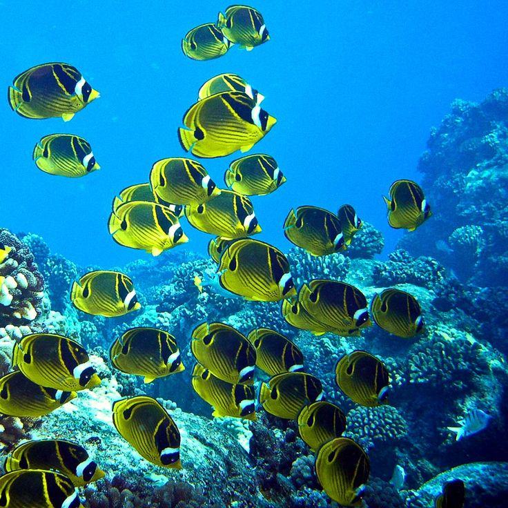 38 best hawaii 1967 1974 1978 1987 2004 2010 2013 for Hawaii reef fish