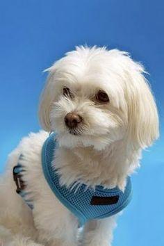 Blog de Perros Miniaturas: El Bichón Maltés. Cuidados y mantenimiento del pelo. Opciones de corte