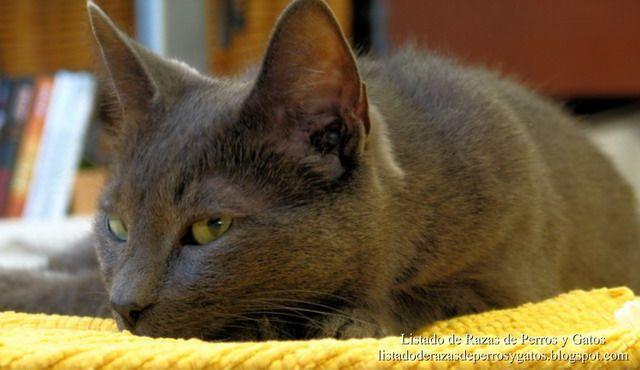 El Korat es una raza de gato doméstico originaria de Tailandia. El Korat es originario de la región Ampur Pimai de la provincia de Cao Nguyen Khorat, en Tailandia, parece ser que en esta zona se veían más gatos azules que en el resto del país. (Gato de la suerte, Gat Korat, Si-sawaat, Gat de la Sort, Korat-Katze, Gatto Korat, Корат, Khorat, Malet, Sisawat, Thaise lila, Thaise kleurpuntkat)