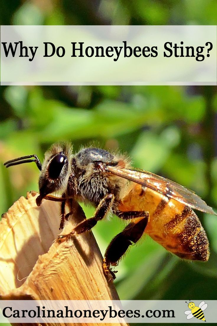 283 best bee friendly bee protect images on pinterest backyard why do bee stings hurt how can you avoid a painful bee sting fandeluxe Ebook collections