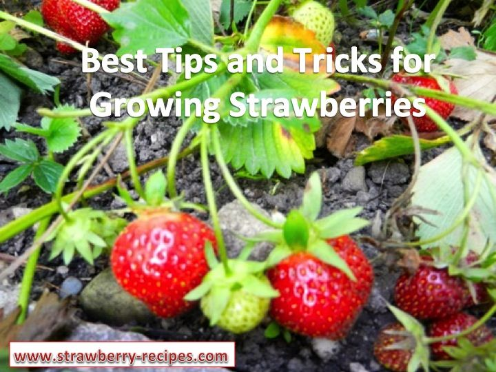 Best Tips and Tricks for Growing Strawberries in Your Garden.