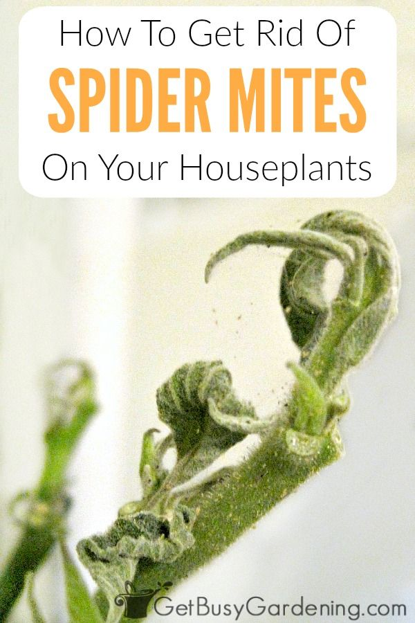 Spider mites are very destructive houseplant pests that create spider webs on plants and look like tiny spiders crawling around on the leaves. Getting rid of mites on plants can be difficult. Learn exactly how to get rid of spider mites on indoor plants naturally, and prevent them from ever coming back!