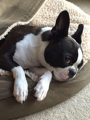 Good looking Boston terrier