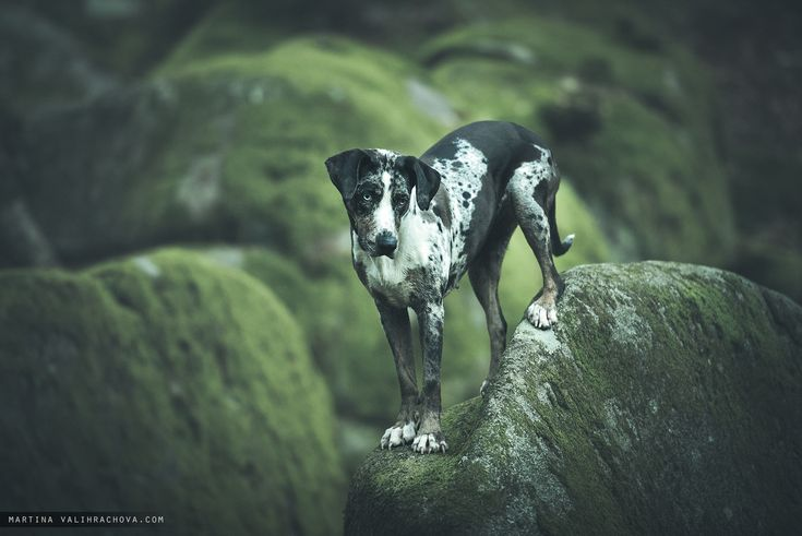Catahoula in Wolf ravine - Wolf ravine is a remarkable boulder with bouldering slopes and ancient beech trees, located near Prague, Czech Capital city.