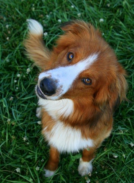 Farm collie/Farm Shepherd dog photo | English Shepherd / Farm Collie Dog | animls
