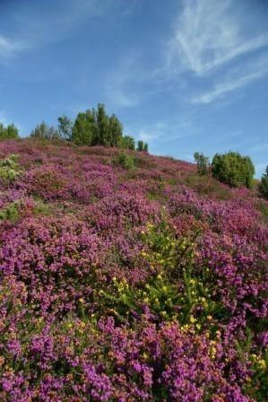 Landes à bruyères - Les buttes à Gaudy