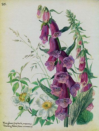 Foxglove and trailing roses by Edith Holden