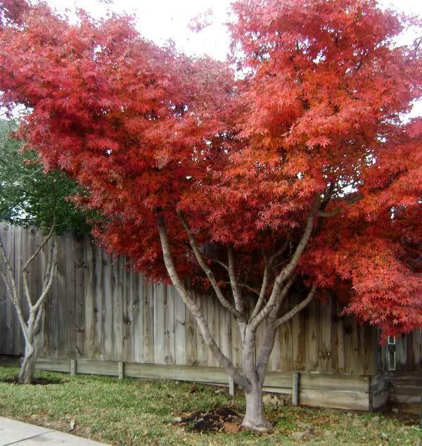 Japanese Maples Varieties Species Japanese Maple Tree