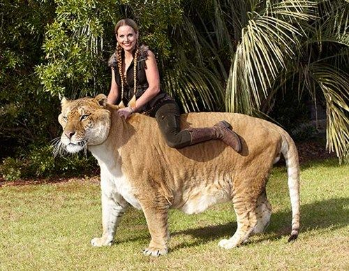 Yes, Ligers really do exist. Hercules is a hybrid liger, between a male lion and a female tiger. This unique cat weighs 900 pounds and it comes as no surprise that Hercules has been named as the World's Biggest Cat.