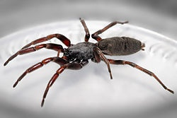White-tailed spiders are medium-sized spiders native to southern and eastern Australia, and so named because of the whitish tips at the end of their abdomens.