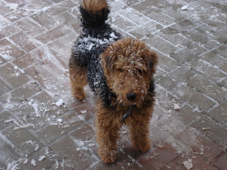 Zizi 8 mouths old.  <3 <3 Welsh terrier adult Black and tan