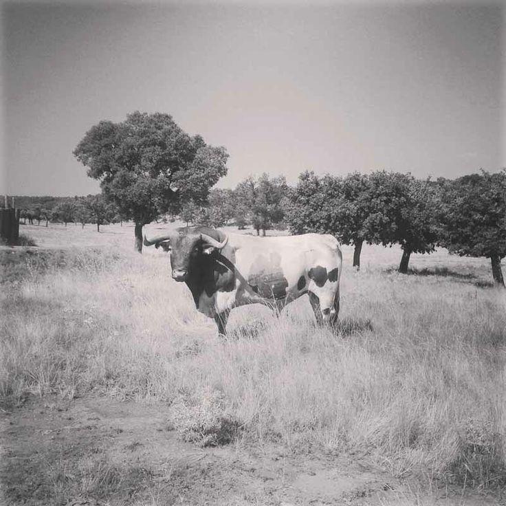 Semental berrendo en colorado en la Dehesa de Valdelazarza. © Valdelazarza  #semental #cabestros #campocharro #salamanca #spain #animals #animales #fauna #flora #toros #campo #blancoynegro #blackandwhite #horns #dehesa #finca